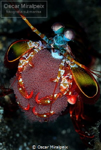 mantis ... with eggs by Oscar Miralpeix