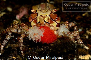 boxing crab ... with eggs by Oscar Miralpeix