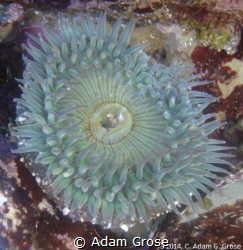 Anemone in a tidepool. La Jolla, CA by Adam Grose