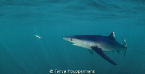 Target Acquired A blue shark off the coast of Rhode Isla... by Tanya Houppermans