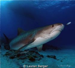 """Elegant Predator"" Emma Tiger shark (Galeocerdo curvier)... by Lauren Berger"