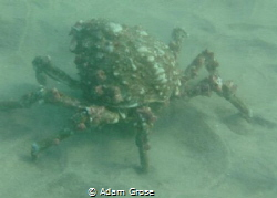Spotted this guy at the Marine Room, just north of La Jol... by Adam Grose