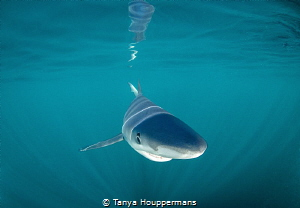 Ready For My Close Up Blue shark off the coast of Rhode ... by Tanya Houppermans