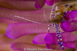 Cleaner shrimp on pink tip anemone by Danielle Deschenes