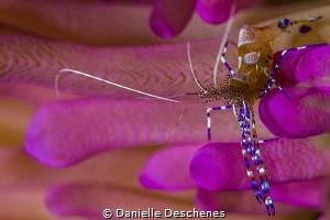 Cleaner shrimp on pink tip anemone by Danielle Deschenes