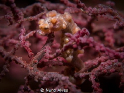 Pigmy seahorse in the Liberty Wreck, Tulamben by Nuno Alves
