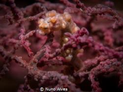 Pigmy seahorse in the Liberty Wreck, Tulamben by Nuno Alves