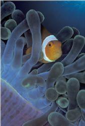 False clownfish in sea anemone tentacles. Taken with cust... by Len Deeley