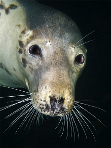 Seal portrait by Paul Colley
