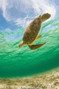 """""""Turtle In The Sky (With Diamonds)"""" by Susannah H. Snowden"""