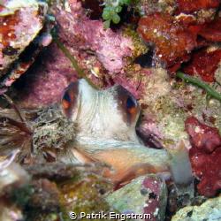 octopus in the den by Patrik Engstrom