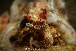 Hermit crab by Yoav Lavi