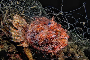Scorpaena died in an abandoned fishing net by Marco Gargiulo