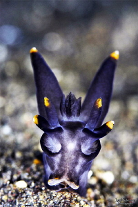 Batman nudibranch by Iyad Suleyman