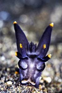 Batman nudibranch by Iyad Suleyman