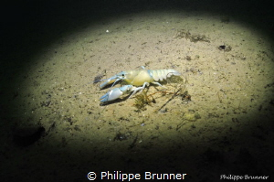 Leucistic crayfish by Philippe Brunner