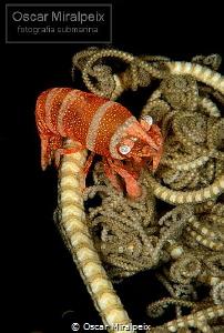 basketstar shrimp by Oscar Miralpeix