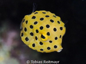 Juvenile Yellow Boxfish, Koh Doc Mai by Tobias Reitmayr