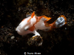 Juvenile clown frogfish by Nuno Alves