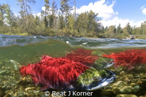 Sockeye Salmon returning to Adams River after four years ... by Beat J Korner