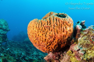 Heart Coral, Veracruz Mexico by Alejandro Topete