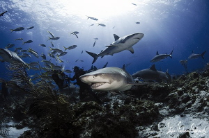 The sharks arrive for a great day of interaction at Tiger... by Steven Anderson