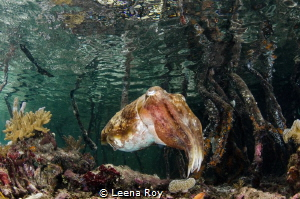 cuttlefish in mangroves by Leena Roy