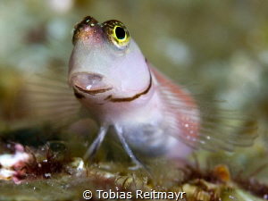 Blenny at Koh Tachai by Tobias Reitmayr