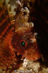 dwarf lionfish by Yoav Lavi