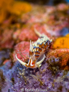 Sponge Plunge ... Nudibranch - Caloria indica. Samran, Th... by Stefan Follows