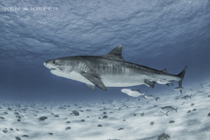 "Tiger Shark named ""Notch"" cruising with an entourage of f... by Ken Kiefer"