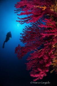 Red SeaFans by Marco Gargiulo