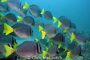 school of Fish - Galapagos by Chris Miskavitch