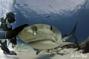 Emma the world famous Tiger Shark visits for some love an... by Steven Anderson