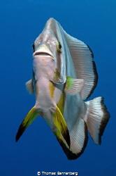Longfin Batfish (Platax teira) by Thomas Bannenberg