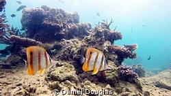 Chelmon Rostratus @ Kapas Island, Malaysia by Daniel Douglas