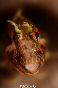 Little Blenny from Yassiada/Istanbul by Taner Atilgan