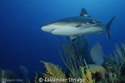Cruising by the reef. Caribbean Reef Shark  @Gran Caym... by Iskander Itriago