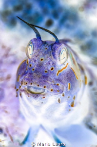 Inverted Blenny by Maria Lauro