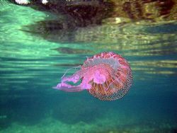 Looking up at a jelly in Xweni Bay in Gozo. It really was... by Dawn Watson