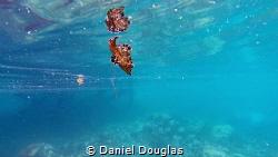 Spanish Dancer @ Bohey Dulang Island, Malaysia by Daniel Douglas