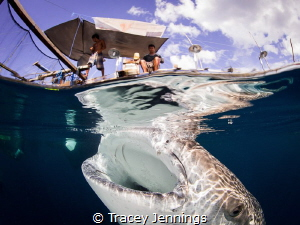 Interaction between fishermen and whale sharks in Papua, ... by Tracey Jennings