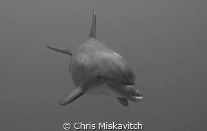 Dolphin Drive-by by Chris Miskavitch