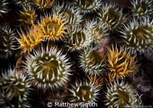 Beautiful white striped anemones. by Matthew Smith