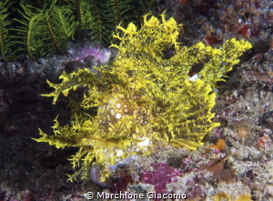 Rhinopia  Nikon D200 , 60 macro , two strobo sea and sea by Marchione Giacomo