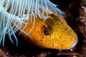 Fashion Blenny by Marco Gargiulo