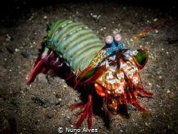 Mantis shrimp by Nuno Alves