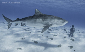 My wife Kimber enjoys a beautiful tiger shark on her firs... by Ken Kiefer