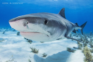 Tiger Shark coming close to inspect my camera by Ken Kiefer