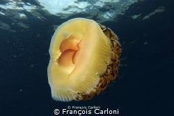 egg jellyfish by François Carloni